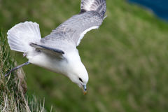 Northern fulmar flying at cliff Royalty Free Stock Images