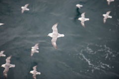 Northern fulmar flying over water Stock Image