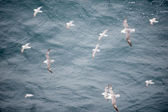 Northern fulmar flying over water Royalty Free Stock Photography