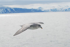 Northern fulmar (fulmar glacialis) bird gliding over the arctic Royalty Free Stock Photos