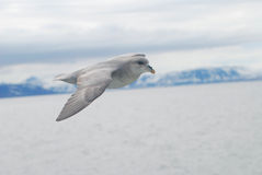 Northern fulmar (fulmar glacialis) bird gliding over the arctic. Northern arctic fulmar bird gliding over the arctic sea, Svalbard Royalty Free Stock Photo