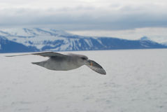 Northern fulmar (fulmar glacialis) bird gliding over the arctic Stock Images