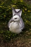 Northern fulmar Fulmarus glacialis in Scotland, Great Britain stock image