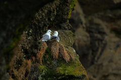 Northern Fulmar, Fulmarus glacialis, nesting on the dark cliff. Two white sea birds in the nest. Pair of Fulmar on the ocean coast Stock Images