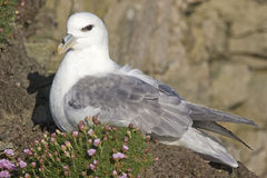 The Northern Fulmar, Fulmarus glacialis nesting female Royalty Free Stock Image