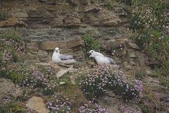 The Northern Fulmar, Fulmarus glacialis nesting pair Stock Image