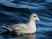 Northern Fulmar - Fulmarus glacialis Stock Photography