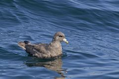 Free Northern Fulmar, Fulmarus Glacialis On The Sea Stock Images - 123180324
