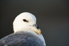 Northern Fulmar (Fulmarus glacialis) Stock Photo