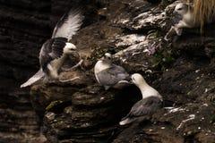 Northern fulmar Fulmarus glacialis in Scotland, Great Britain stock images