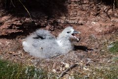 Northern fulmar Fulmarus glacialis in Scotland, Great Britain stock photography