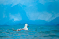 Northern Fulmar, Fulmarus glacialis, white bird in the blue water, dark blue ice in the background, animal in the Arctic nature ha Stock Image