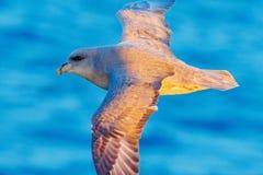 Northern Fulmar, Fulmarus glacialis, white bird, blue water, dark blue ice in the background, animal flight Arctic nature habitat, Royalty Free Stock Photography