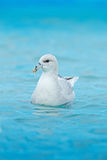 Northern Fulmar, Fulmarus glacialis, white bird in the blue water, ice in the background, Svalbard, Norway Stock Photography