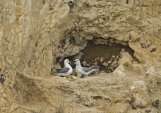 Northern Fulmar pair on chalk cliff Stock Photo