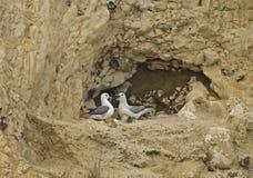 Northern Fulmar pair on chalk cliff Stock Photo