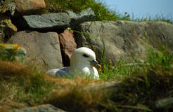 Northern fulmar, Shetland Royalty Free Stock Photos
