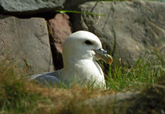 Northern fulmar, Shetland Stock Photo