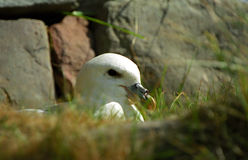 Northern fulmar, Shetland Royalty Free Stock Image