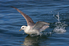 Northern fulmar take-off, Iceland, Atlantic Ocean Royalty Free Stock Image