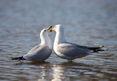 Northern Fulmars Stock Photography