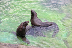 Northern fur seal Royalty Free Stock Photo