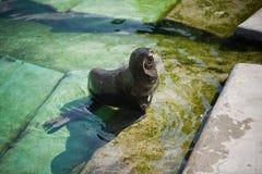 Northern fur seal Stock Photos