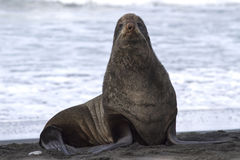 Northern fur seal on the beach near the Royalty Free Stock Images