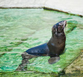 Northern fur seal (Callorhinus ursinus) Stock Images