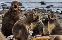 Northern fur seal Callorhinus ursinus is an eared seal found along the north Pacific Ocean, the Bering Sea. And the Sea of Okhotsk, the Commander Islands royalty free stock photos