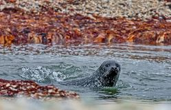 Northern fur seal Callorhinus ursinus is an eared seal found along the north Pacific Ocean, the Bering Sea stock photos