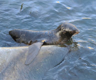 Northern fur seal Callorhinus ursinus Stock Photo