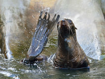 Northern fur seal Callorhinus ursinus stock photography