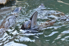 Northern fur seal Callorhinus ursinus Stock Images