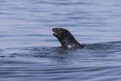 Northern fur seal floating in the water in Pacific Ocean Stock Photo