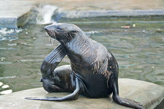 Northern fur seal Royalty Free Stock Photography