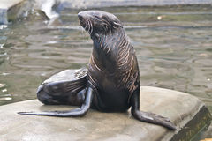 Northern fur seal Stock Photography