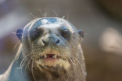 Northern fur seal, or sea cat Callorhinus ursinus pinniped mammal close up portrait.  Royalty Free Stock Photo
