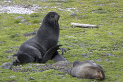 Northern fur seal sitting on the grass at the edge of rooker Stock Photos