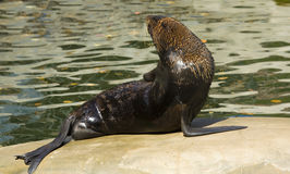 Northern fur seal Royalty Free Stock Photos