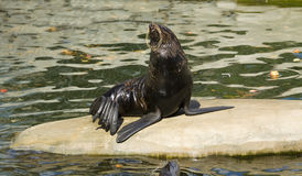 Northern fur seal Stock Photo