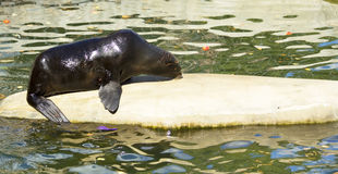 Northern fur seal Stock Images