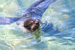 Northern fur seal Royalty Free Stock Image