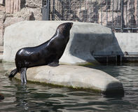 Northern Fur Seals Stock Photo