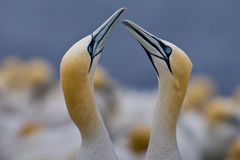 Northern Gannet Stock Photos