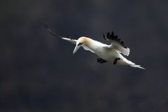Northern Gannet. Displaying his two-metre wingspan Stock Photo
