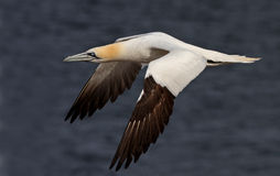 The Northern Gannet Stock Image