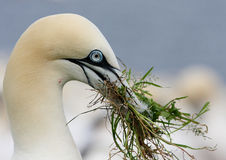 The Northern Gannet Royalty Free Stock Photo