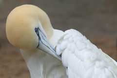 Northern gannet Stock Photography