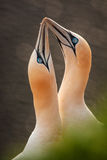 Northern Gannet Royalty Free Stock Photography